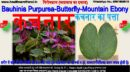 कचनार-Bauhinia Purpurea-Butterfly-Mountain Ebony